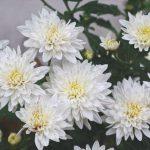flores abiertas y cerradas de color blanco