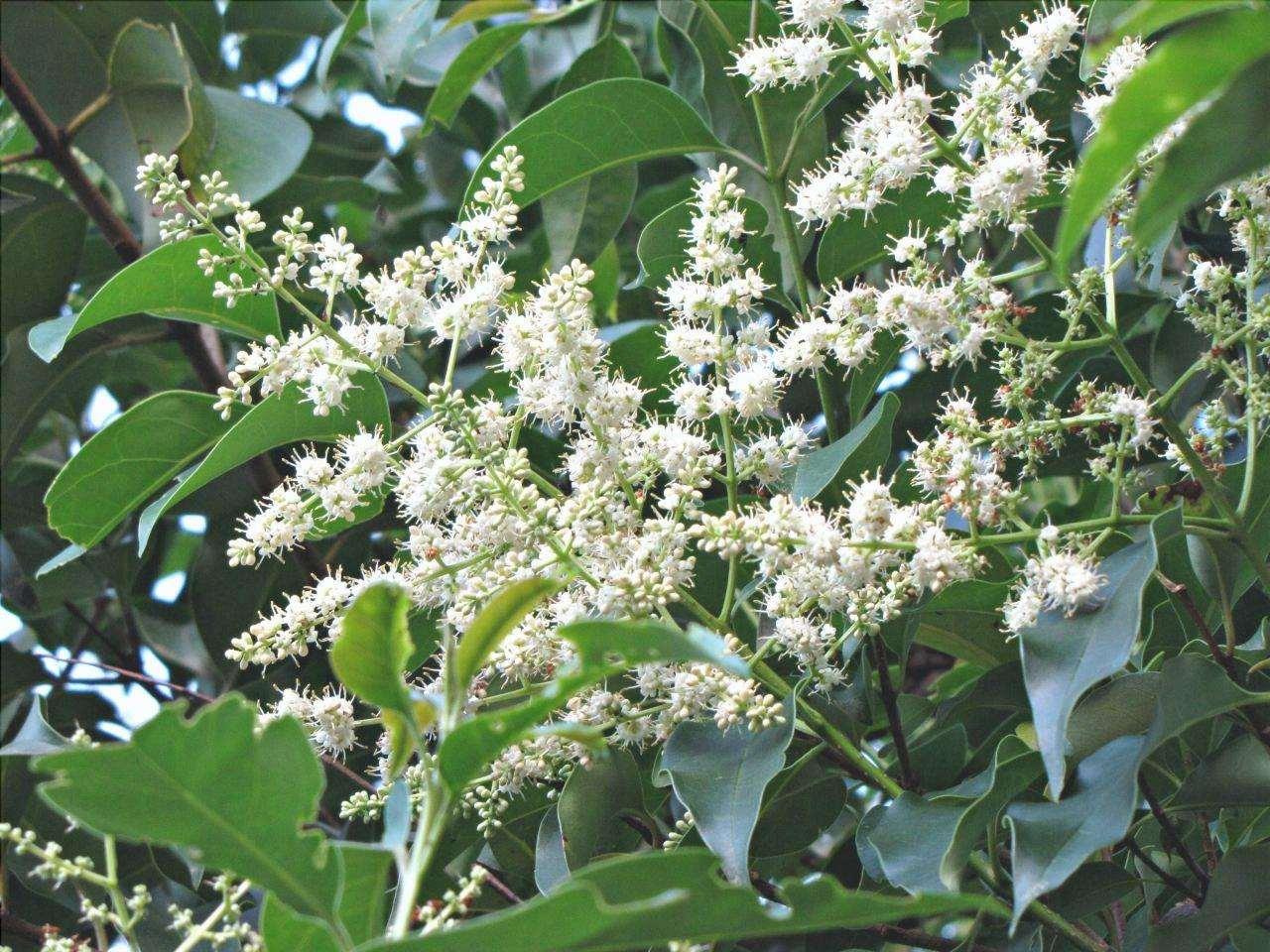 Il ligustro è un albero sempreverde.