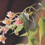 flores de brachichiton