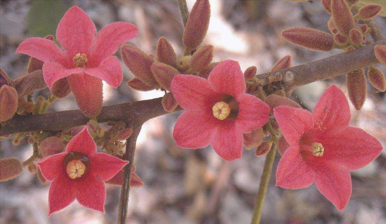 Il Brachychitom bidwilli è un piccolo albero