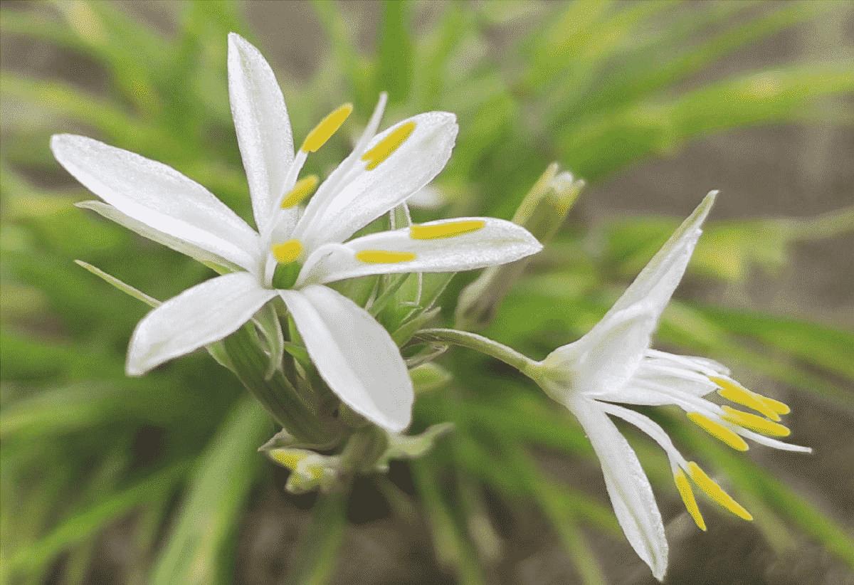 I fiori della cattiva madre sono bianchi