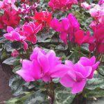 flores de la violeta de los alpes