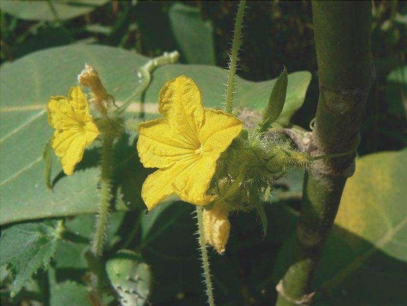 I fiori di melone sono gialli