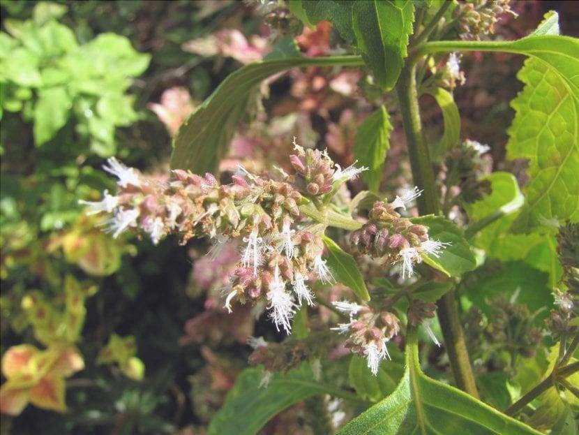 I fiori del patchouli sono piccoli