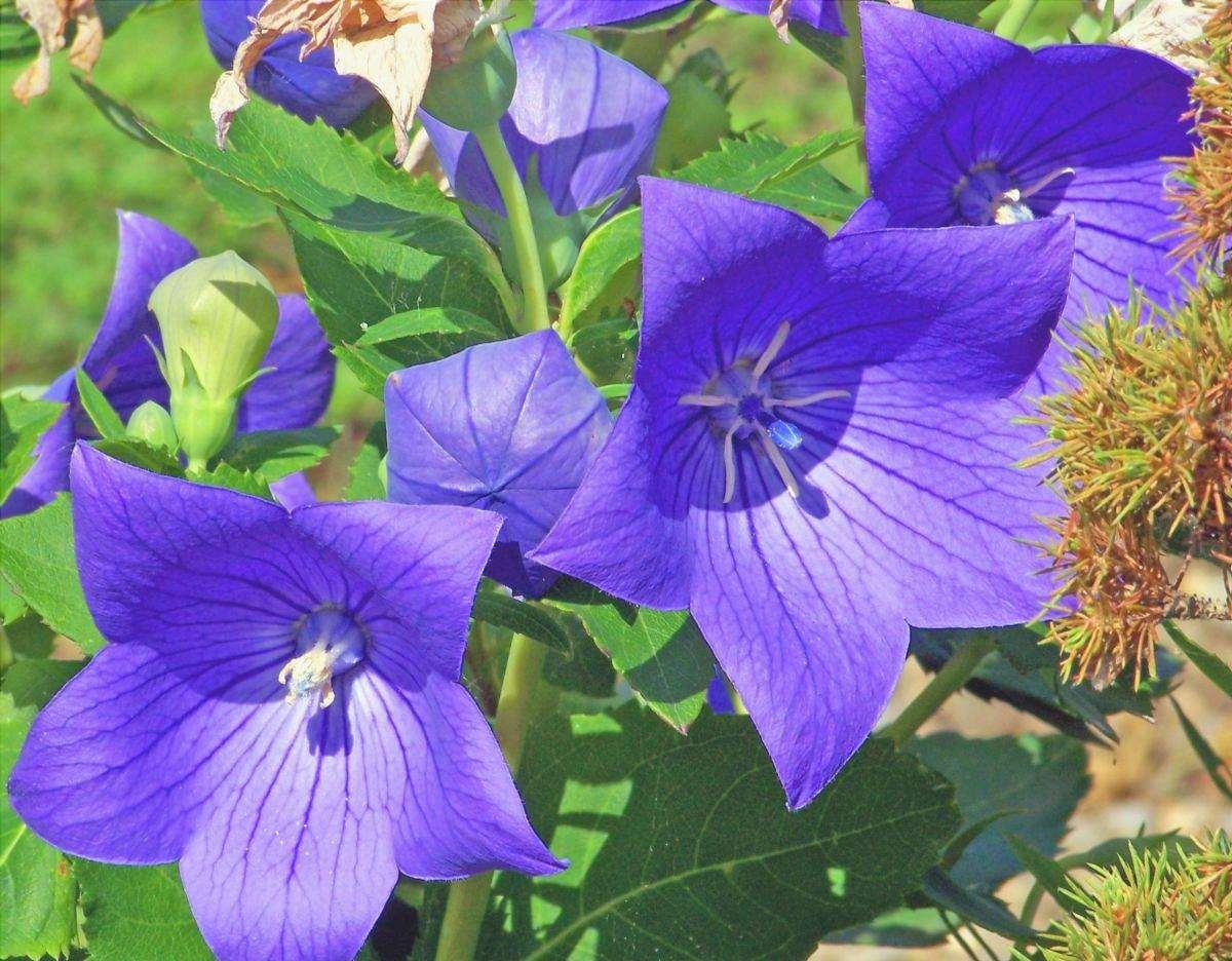Il platycodon è una pianta che fiorisce in primavera.
