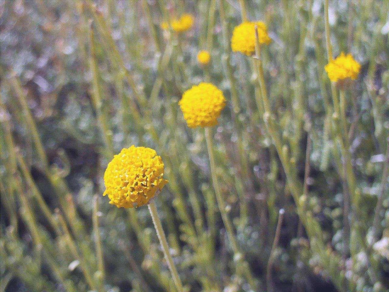 I fiori della Santolina rosmarinifolia sono gialli.