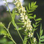 flores de sophora flavescens
