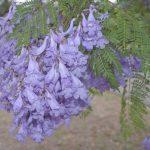 flores del jacaranda
