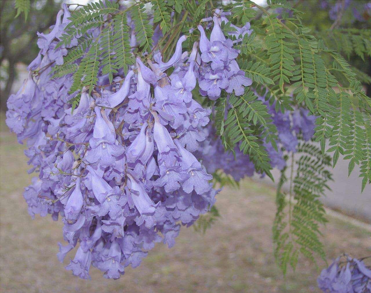 I fiori della jacaranda sono viola.