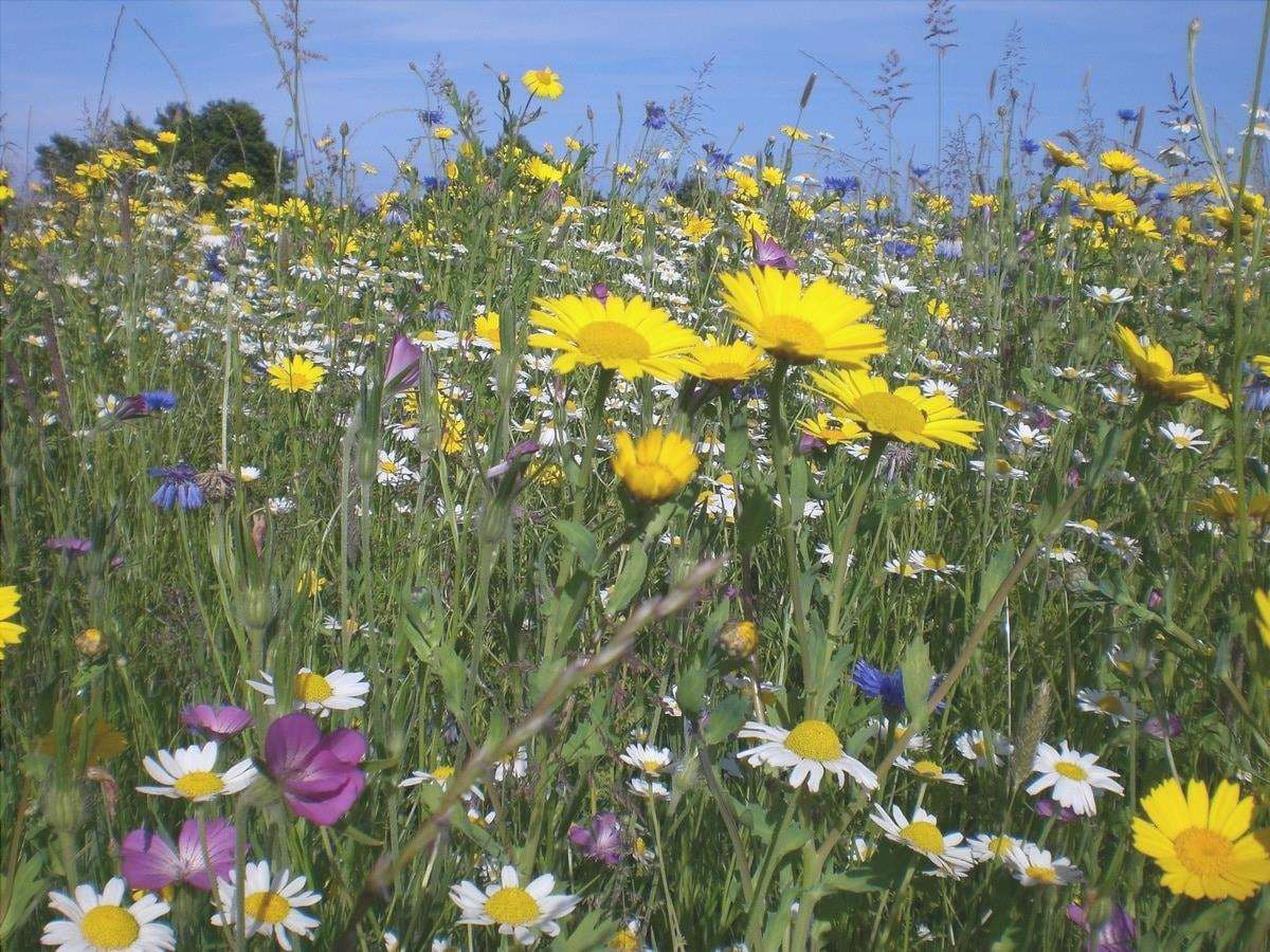 Ci sono molti fiori selvatici interessanti per il giardino