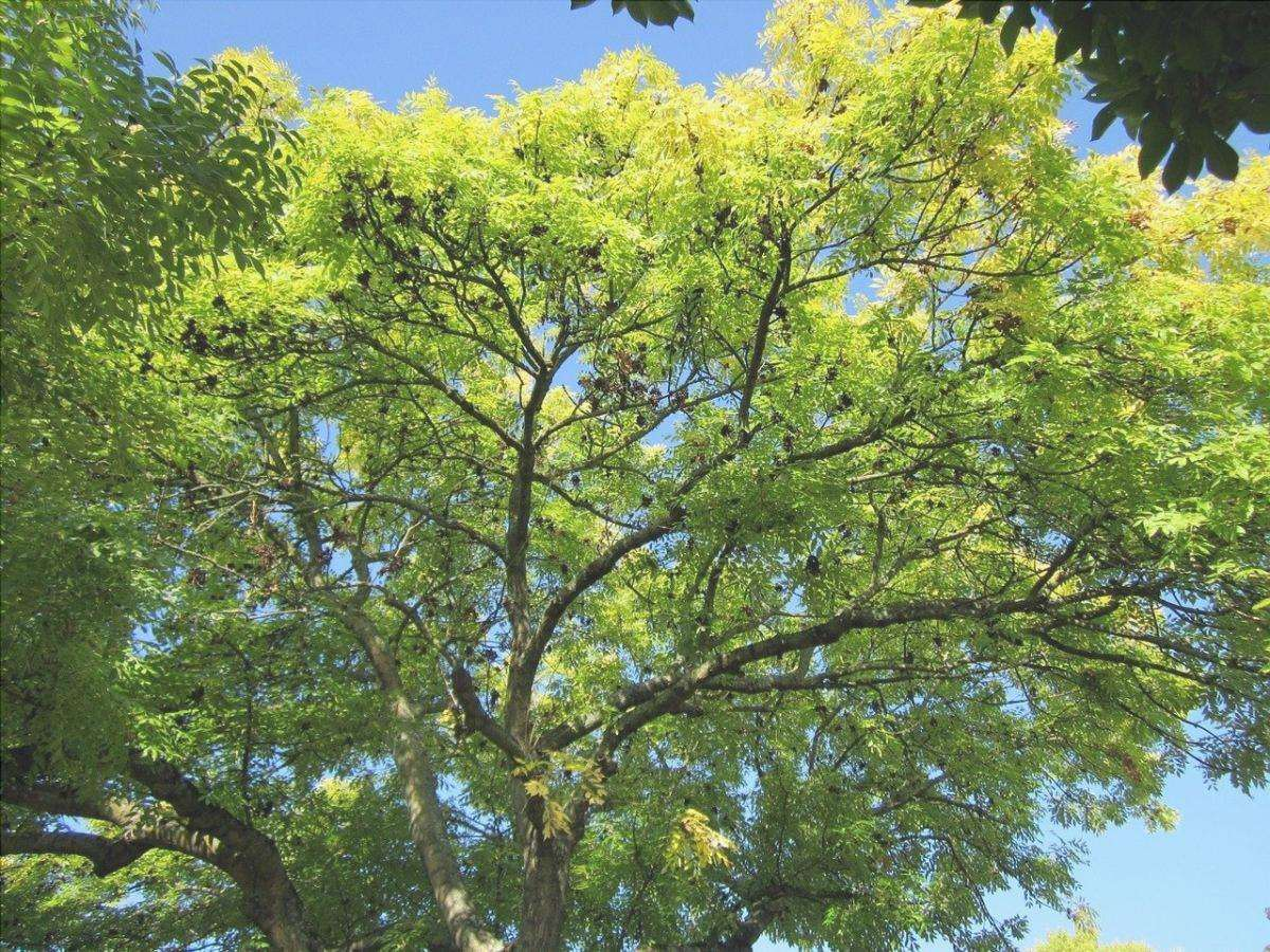 Il frassino è un albero che produce camara.