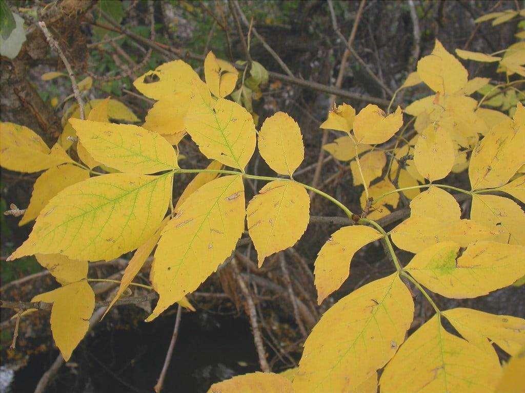 Il frassino diventa bello in autunno