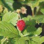 La pianta della fragola è piccola e commestibile.
