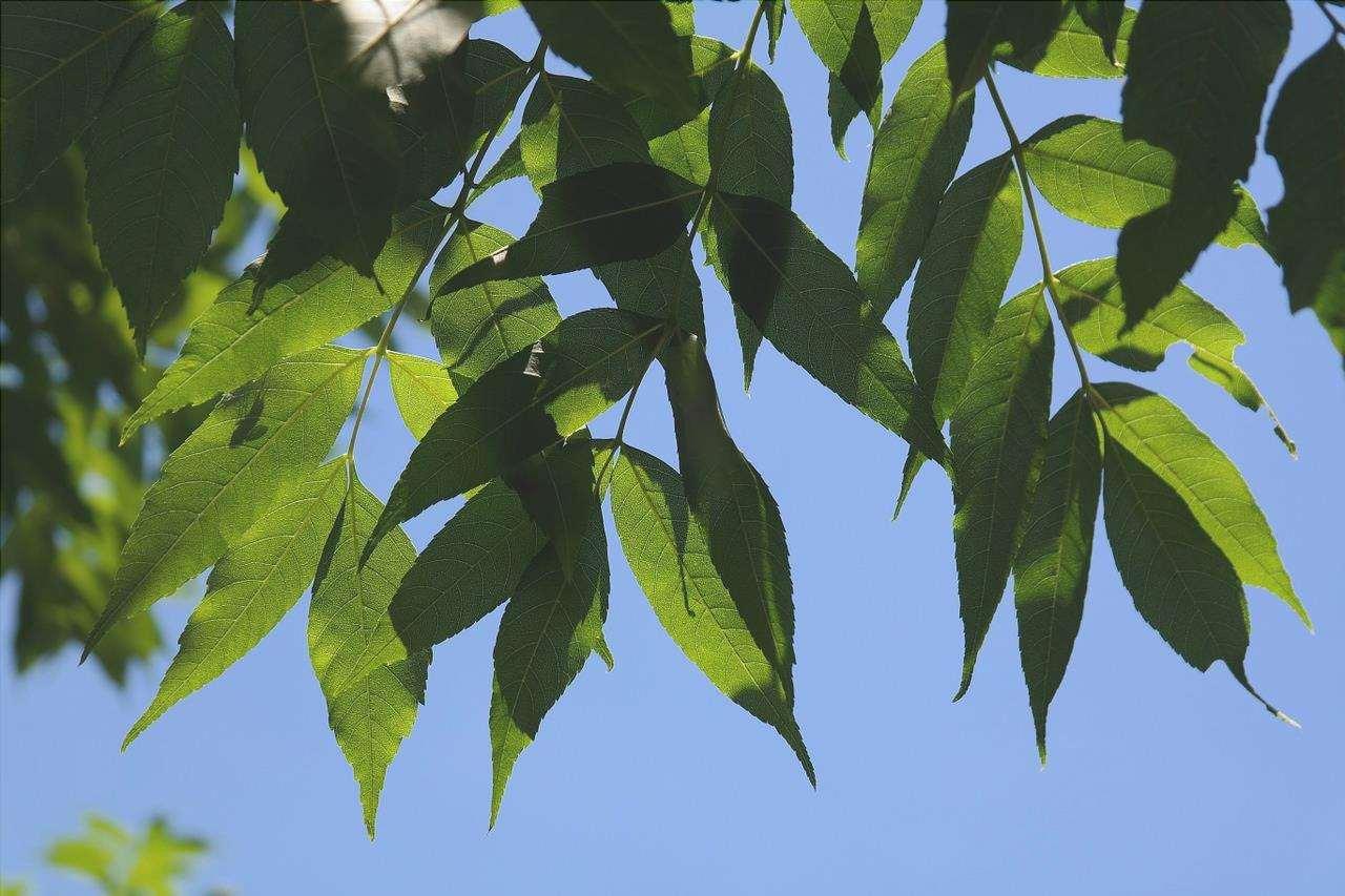 Il frassino è un albero a crescita rapida