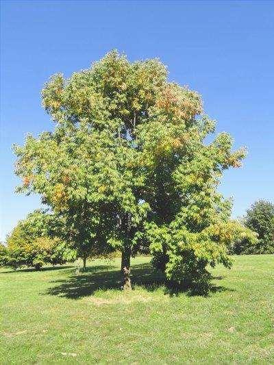 Fraxinus americana è un albero deciduo.