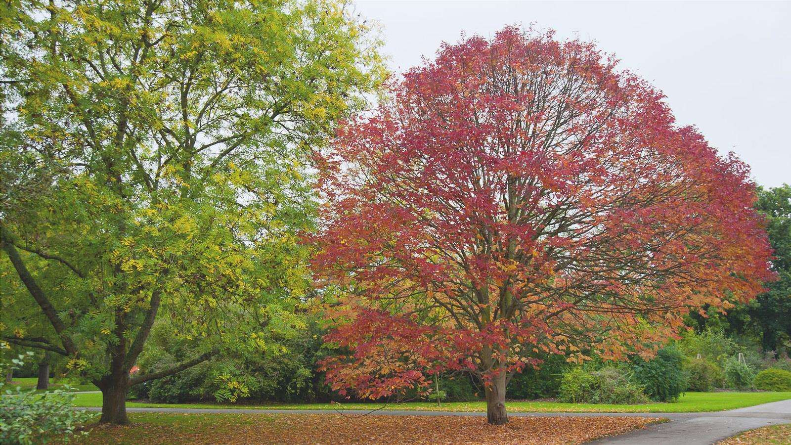 Il frassino americano diventa rosso in autunno