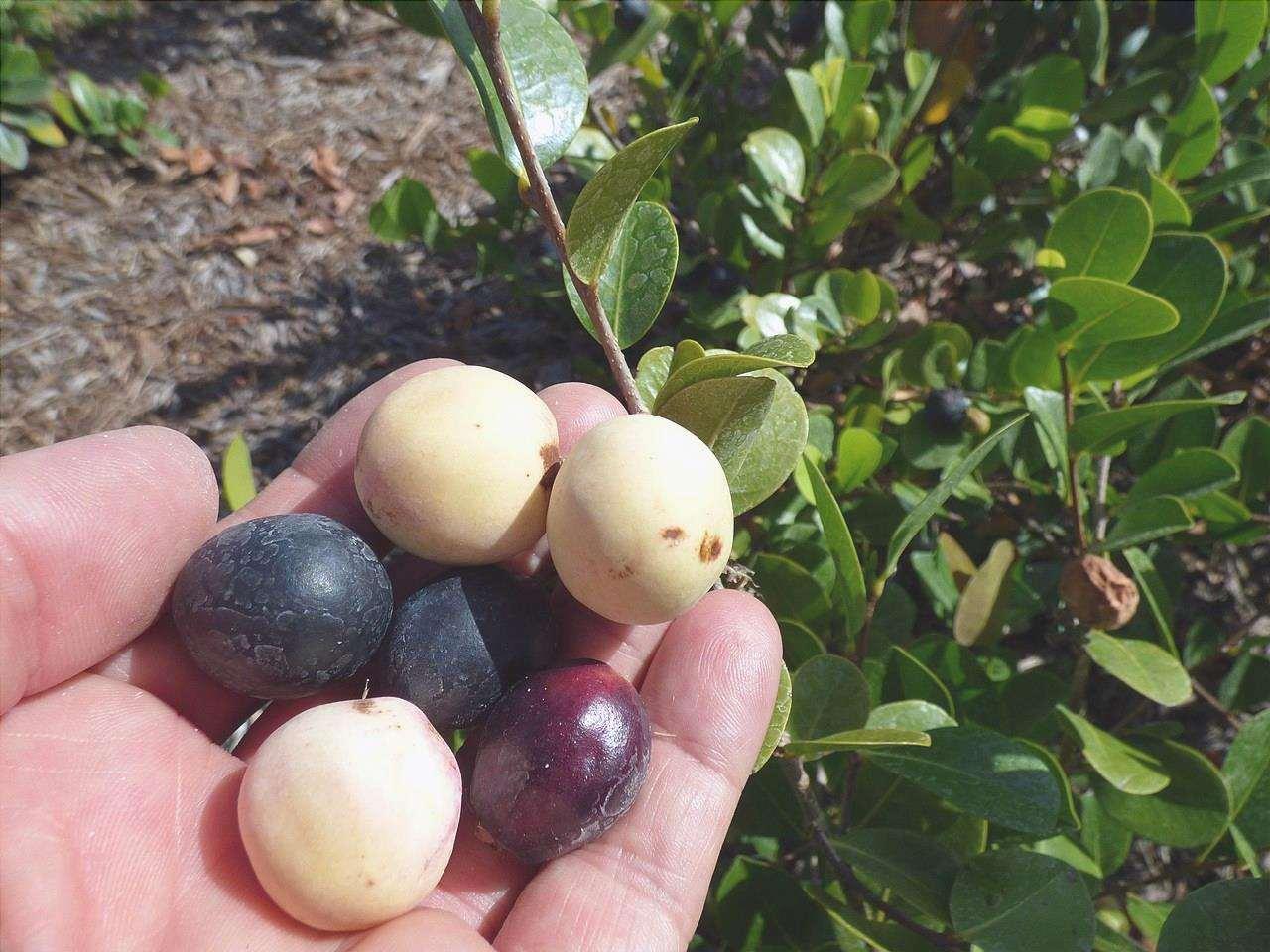 I frutti dell'icaco sono commestibili