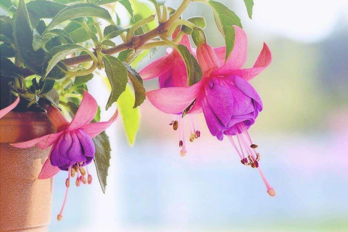 Le fucsie fioriscono in inverno