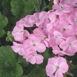 geranio rosa 1