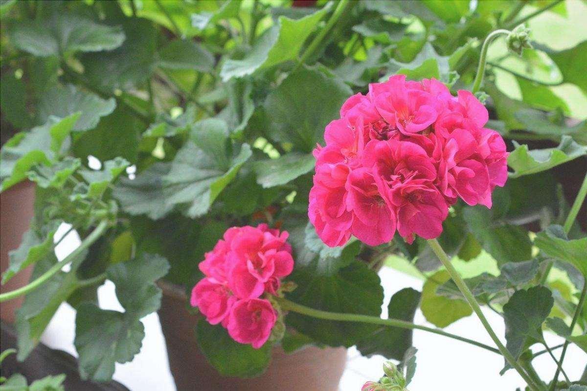 I gerani fioriscono per una buona parte dell'anno
