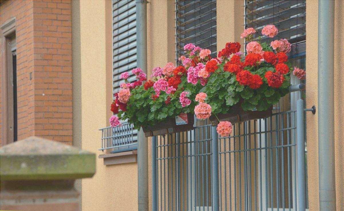 I gerani sono fiori ideali per i balconi
