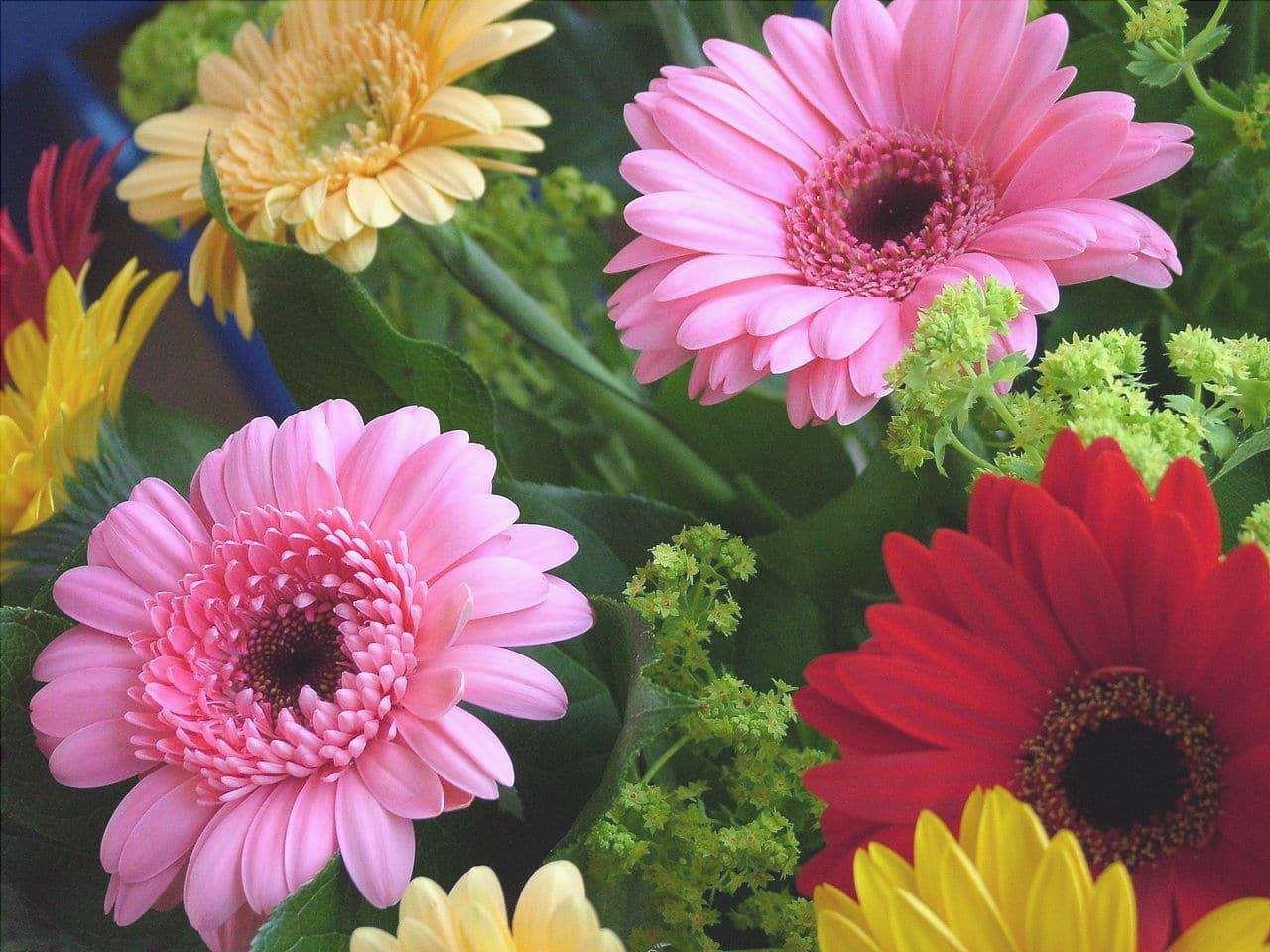 Le gerbere sono piante che producono fiori molto belli.