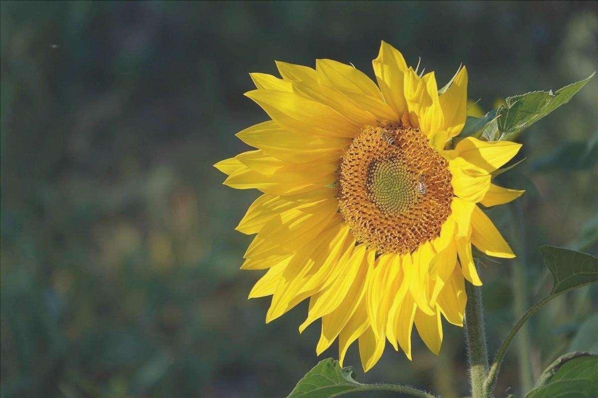 Il girasole è un fiore che ama il sole.
