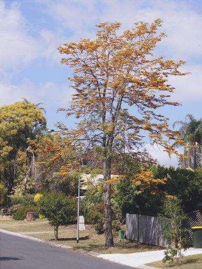 La Grevillea robusta è un albero deciduo.