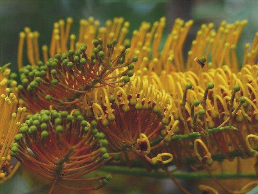 I fiori della Grevillea robusta sono giallo-arancio.