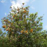 grevillea robusta hojas