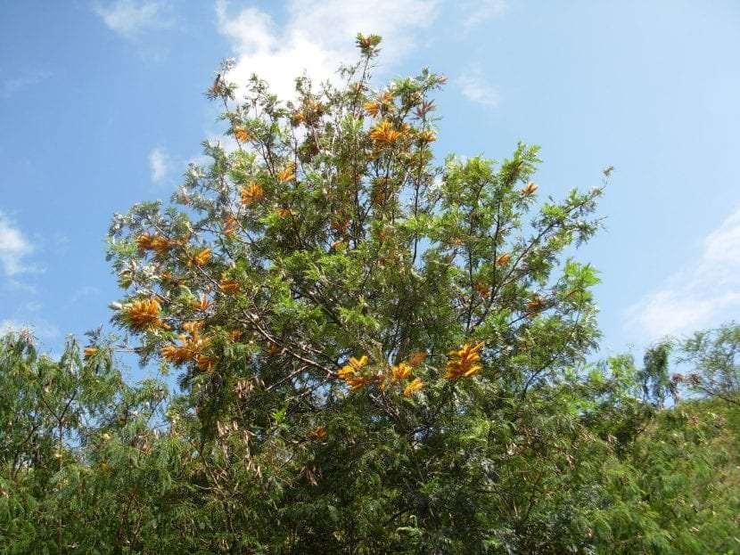 Le foglie della Grevillea robusta sono verdi