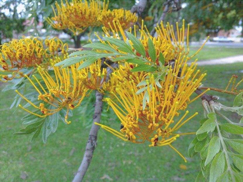 Grevillea robusta foglie e fiori vista