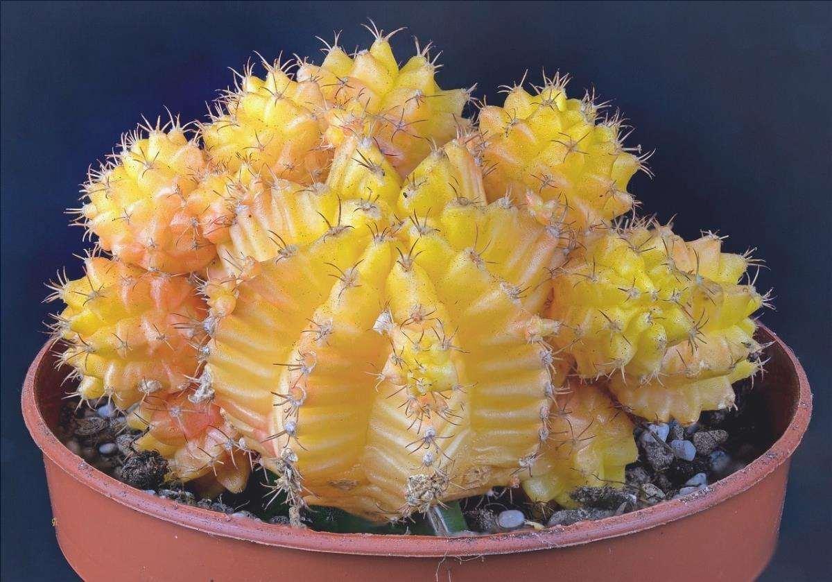 I cactus innestati sono piante che hanno bisogno di cure speciali.