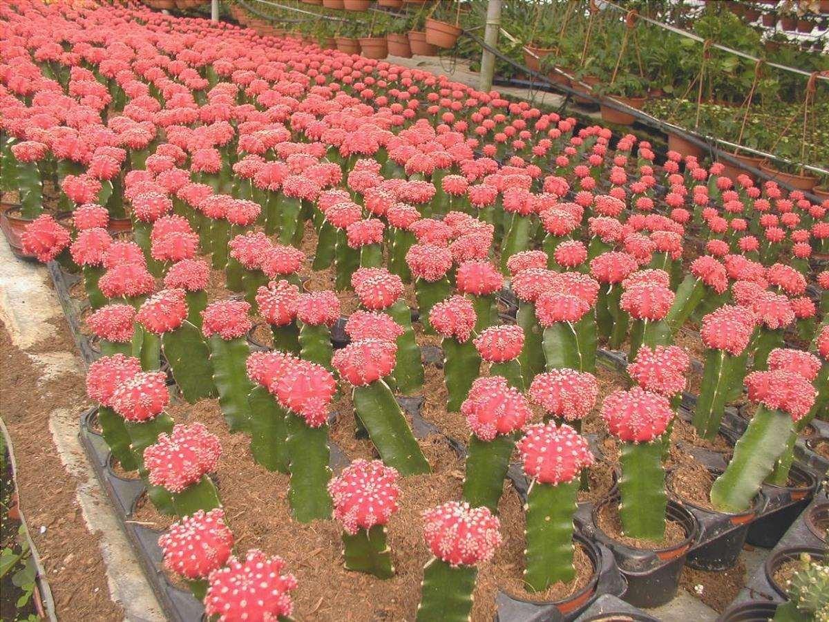 I Gymnocalycium sono cactus che sono spesso innestati su