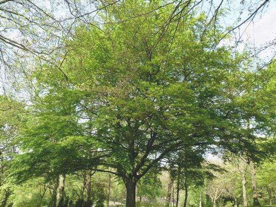 Il faggio è un albero maestoso