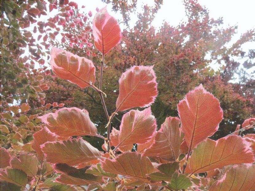 Le foglie del faggio europeo sono di medie dimensioni
