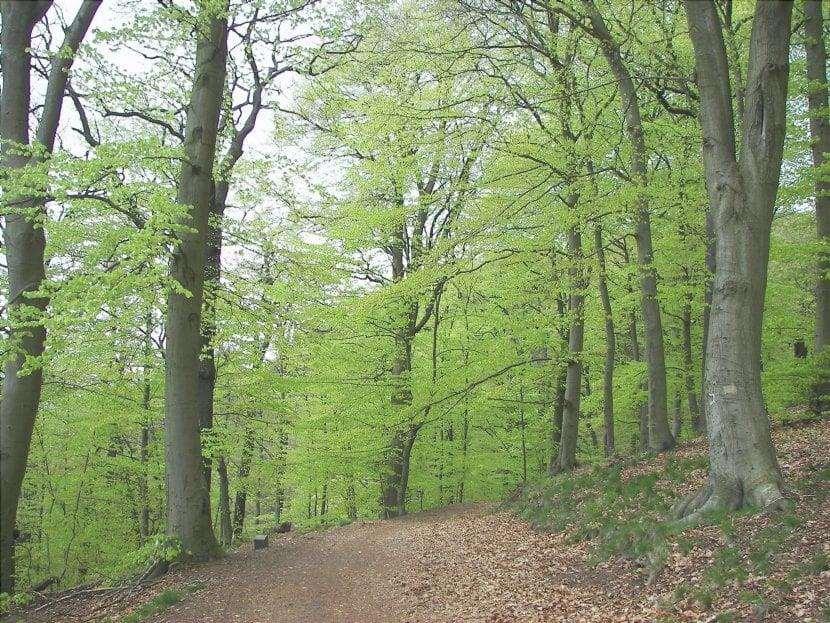 Gli alberi di faggio di solito formano foreste chiamate faggete