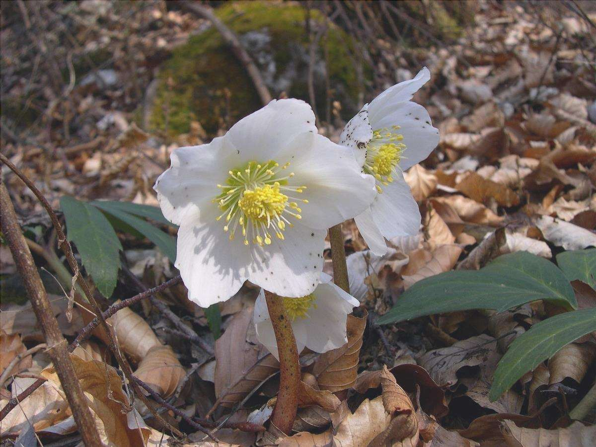 L'helleborus è una pianta da esterno che resiste all'inverno.