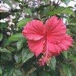L'Hibiscus rosa sinensis è il più comune.
