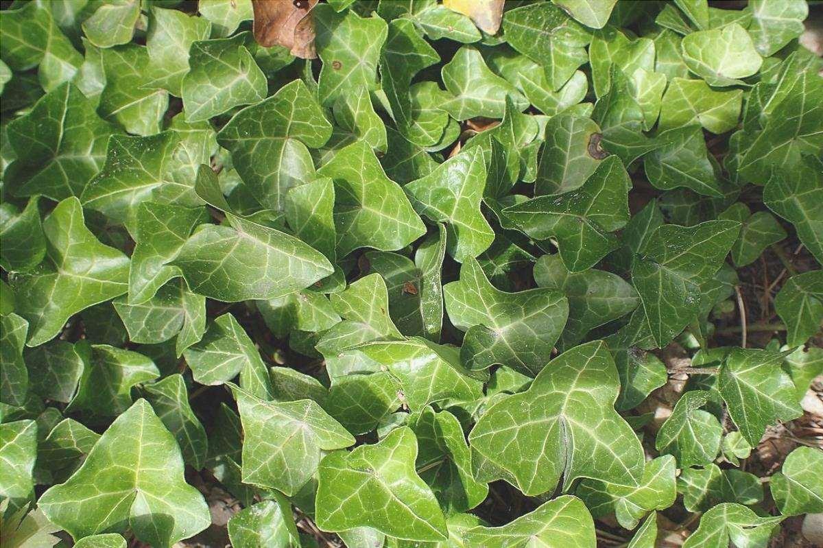 L'edera è un rampicante sempreverde.
