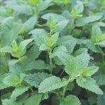 L'erba è una pianta vascolare con steli verdi.