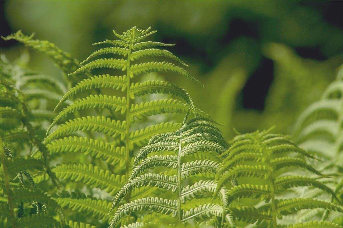La felce è una pianta primitiva