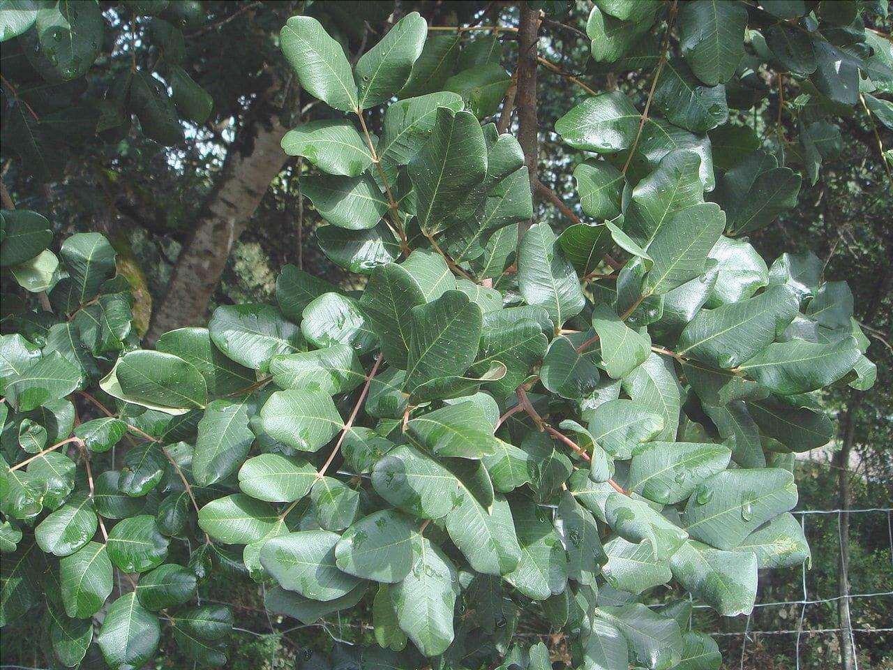 Il carrubo è un albero sempreverde.