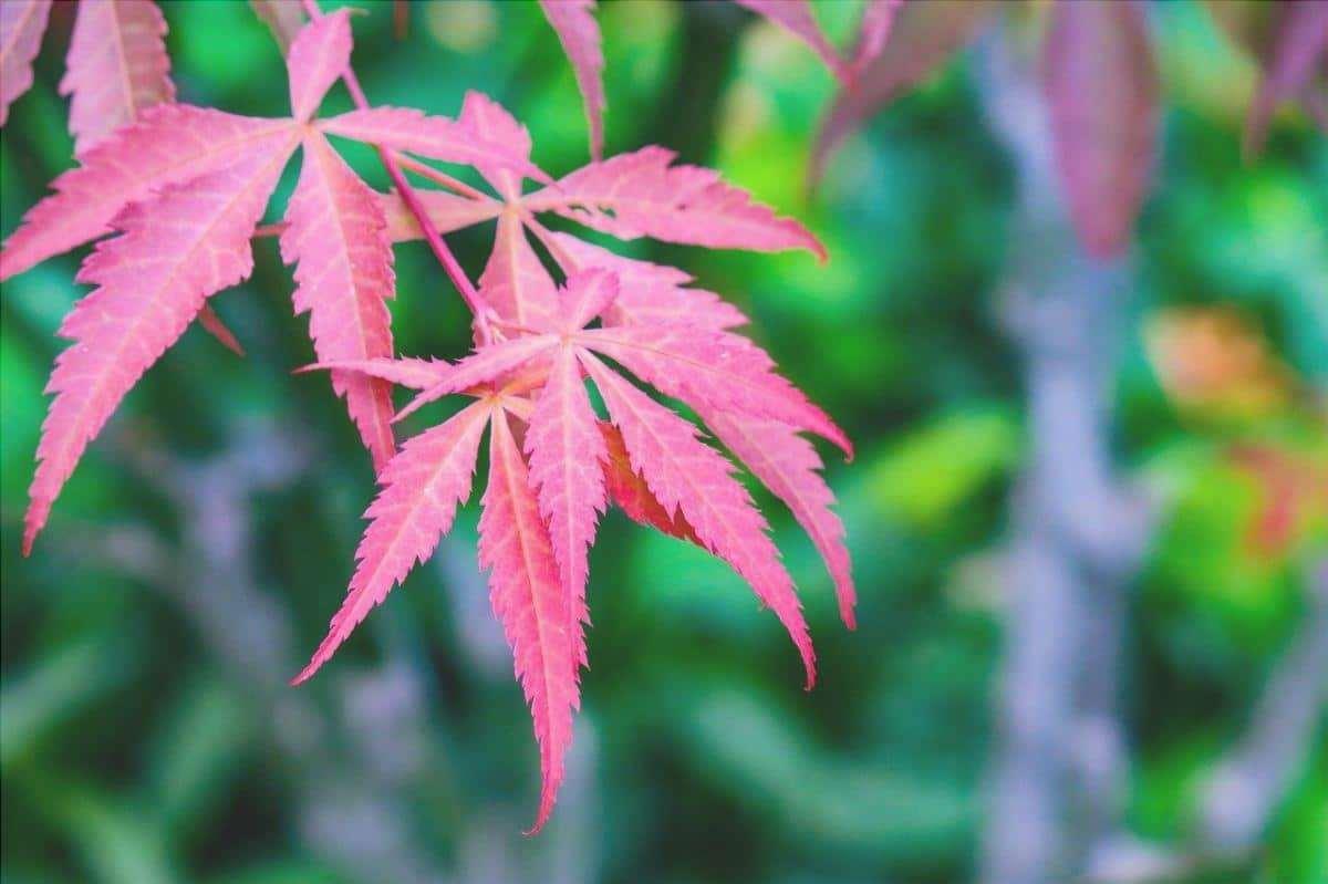 L'acero giapponese è una pianta ideale per i vasi