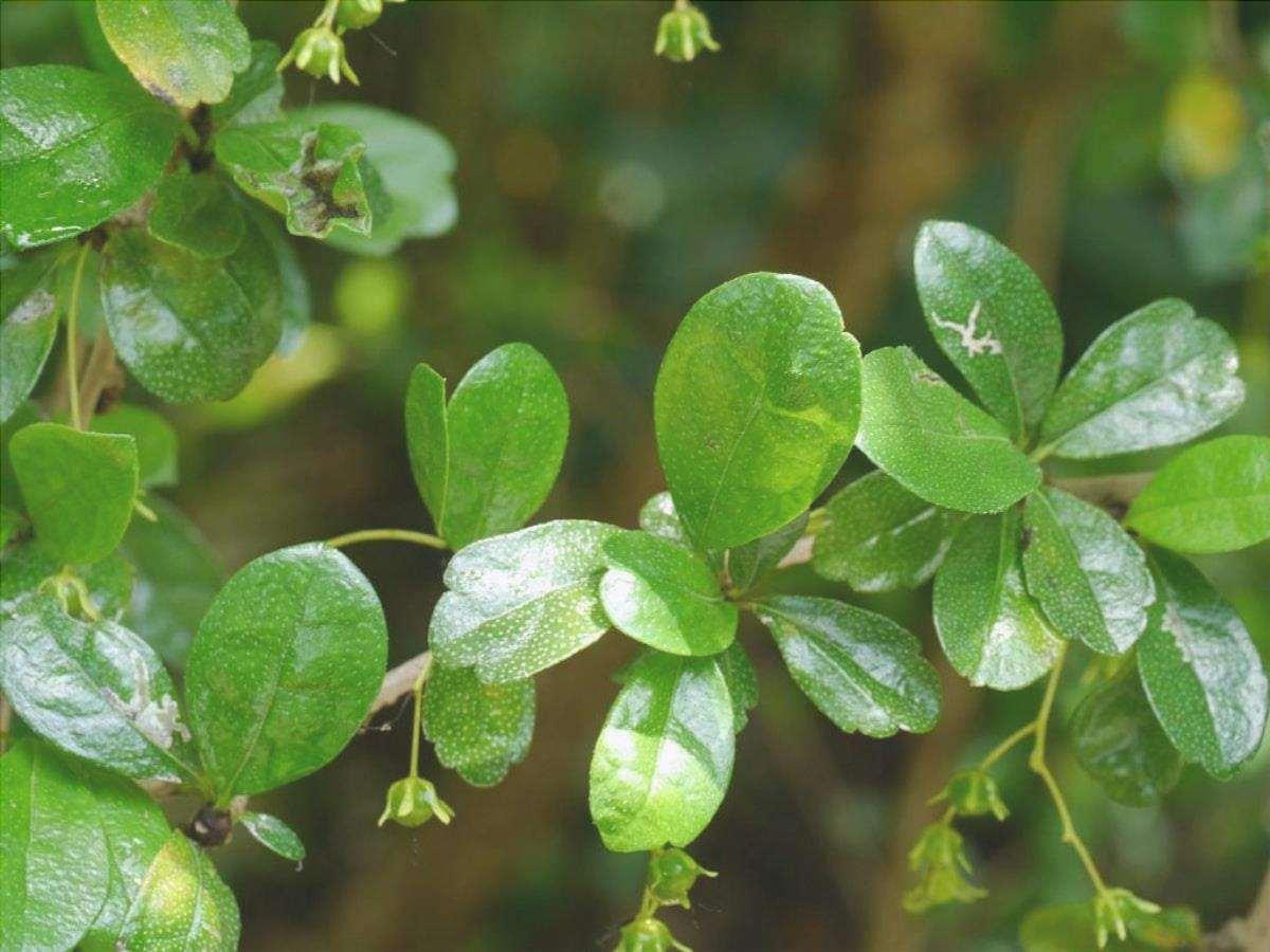 Le foglie di Carmona microphylla sono verdi.