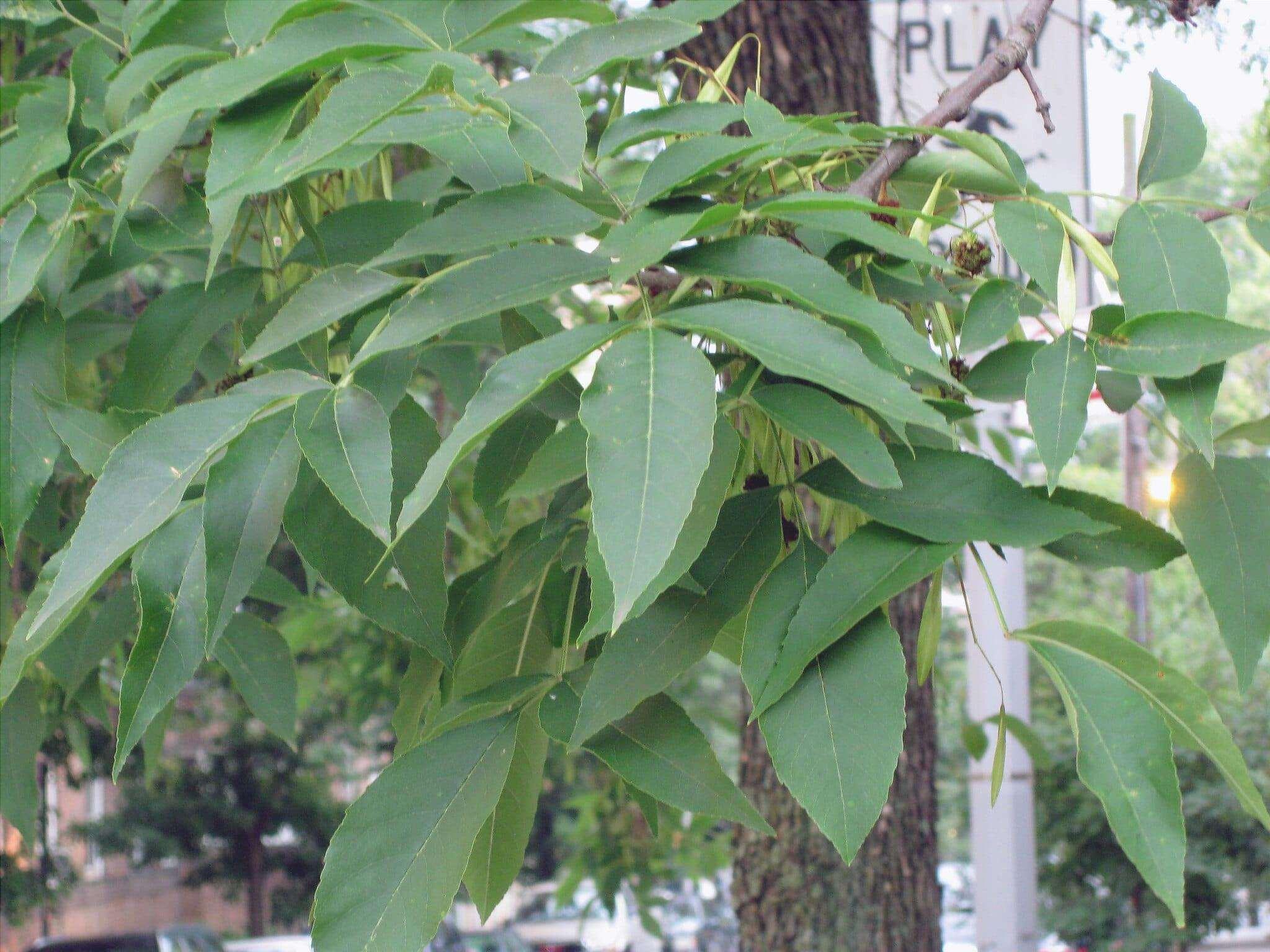 Il frassino americano è un albero