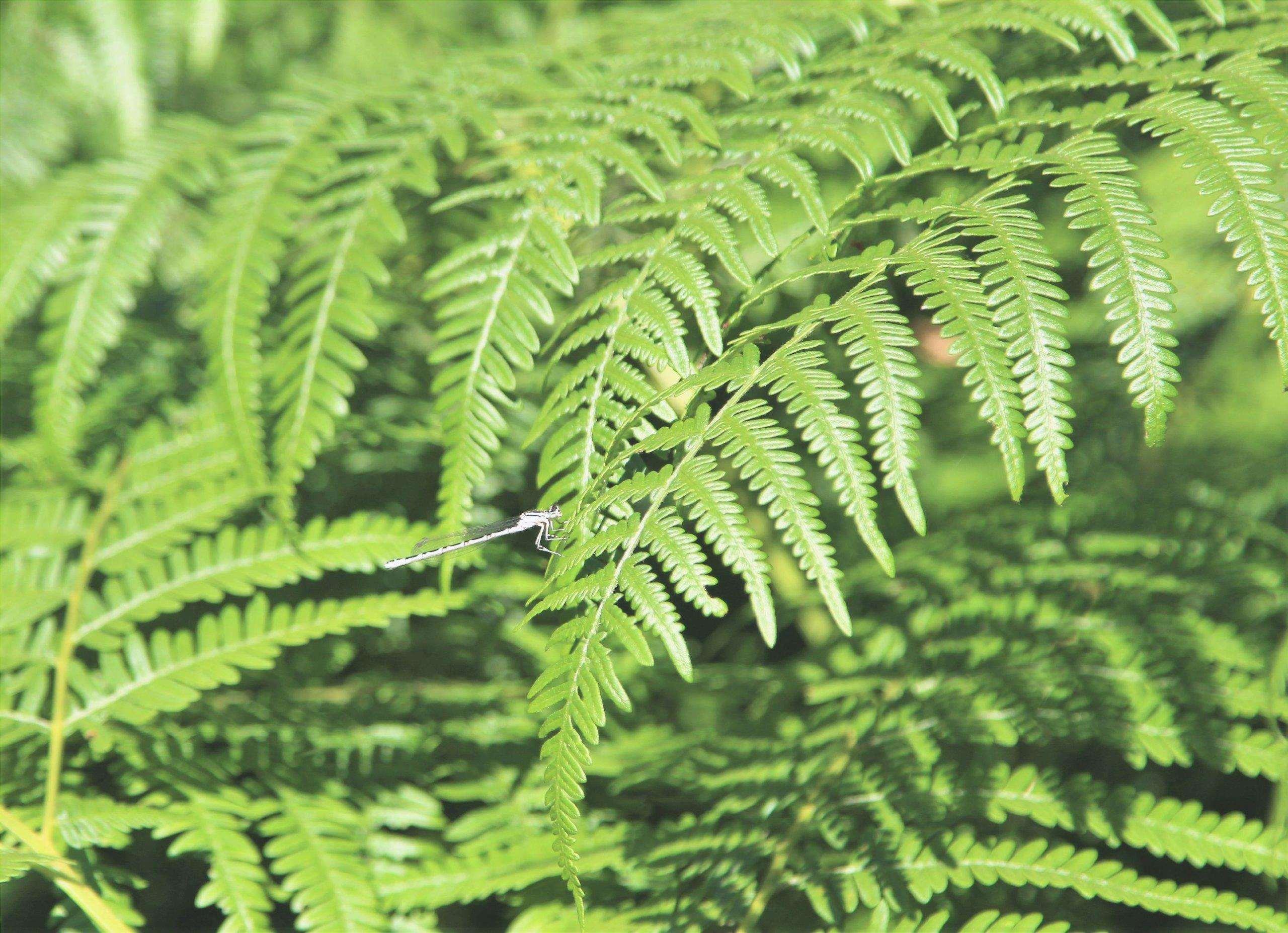 Le felci di solito hanno foglie verdi
