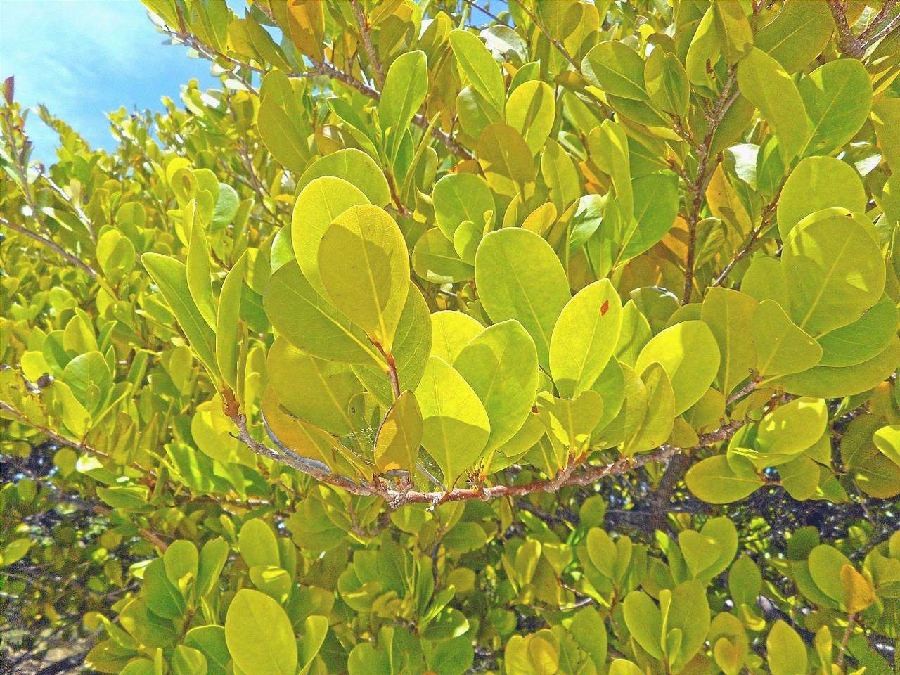Le foglie di Icaro sono sempreverdi