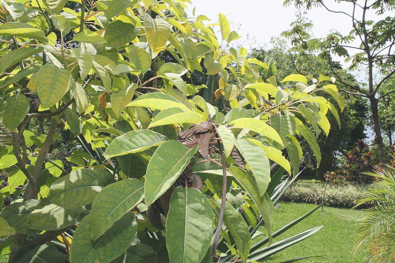 Le foglie dell'ombú sono sempreverdi.