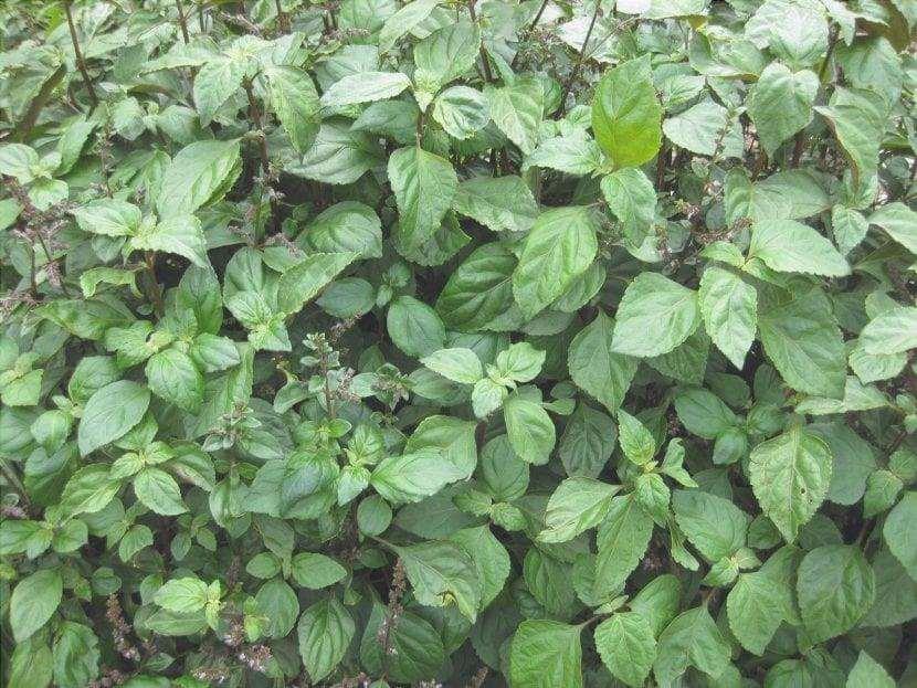 Le foglie di patchouli sono sempreverdi.